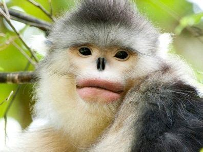 Black snub nosed monkey,Yunling Mountains Nature Reserve ...