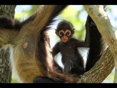 Black Spider Monkey   YouTube