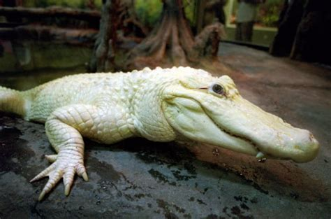 Blanco the White Alligator is Retiring from the Houston Zoo