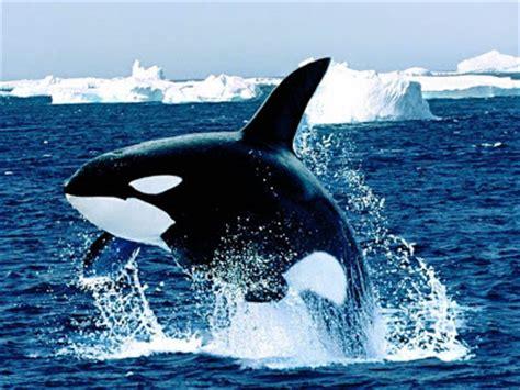 BLOGOCIOLOGICO: ORCAS: BALLENAS ASESINAS