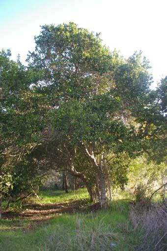 Boldo, una especie del Bosque Esclerófilo | ambient all.org