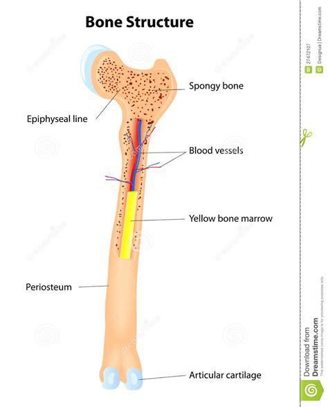 Bone structure clipart   Clipground
