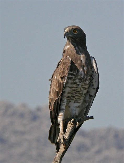 Booted eagle | Observacion de aves, Aves rapaces, Aves