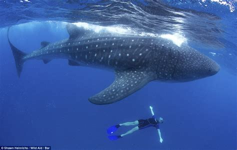 Breathtaking images show the beauty of giant whale sharks ...