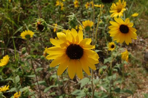 Brenda s  Texas Wild  Garden: Wild Texas Sunflowers