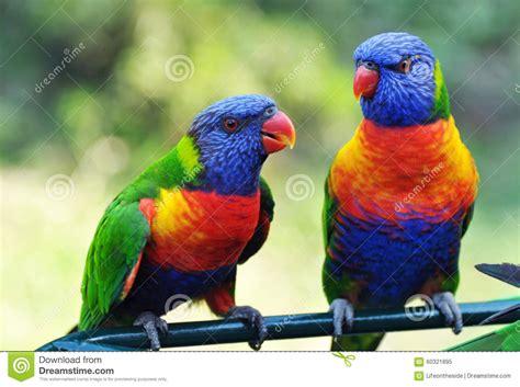 Bright Vivid Colors Of Rainbow Lorikeets Birds Native To ...