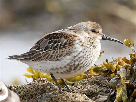 British wading birds: Dunlin | Wildlife Insight
