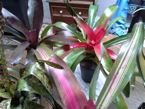 Bromelias Plantas Interior Y Exterior Exoticas Facil ...