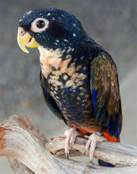 Bronze winged parrot   Wikipedia