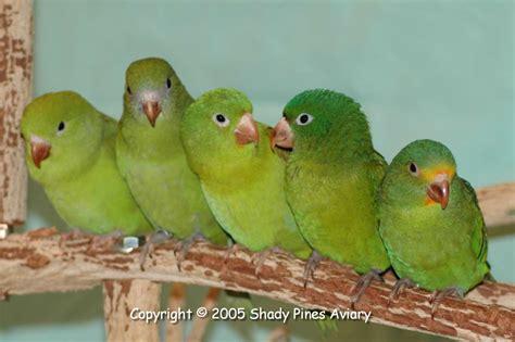 Brotogeris Breeder   Canary wing and Orange chin ...