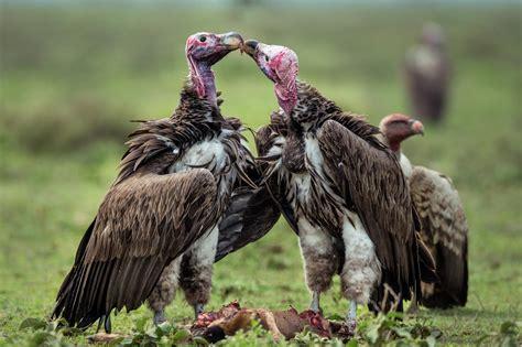 Buitres, aves carroñeras con una injusta reputación