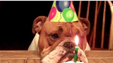 Bulldog Birthday   YouTube