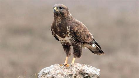 Buscan utilizar las aves rapaces como centinelas de la ...