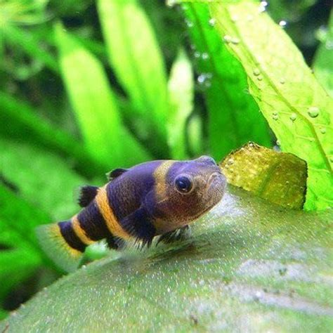 Buy Bumble Bee Goby Fish Online   Allpondsolutions in 2020 ...