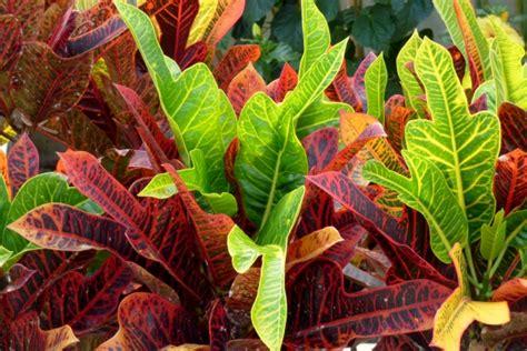 Buy Croton Bangkok Sunrise Plant   Codiaeum variegatum