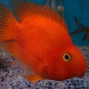 Buy Tropical Fish Online  Delivered to your Door  Aquatics ...