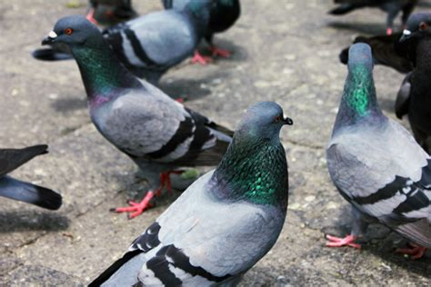Buy Virkon S Disinfectant For Pigeons | Pigeon Flock