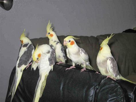 Cacatúa ninfa | Aves Exóticas