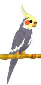 Cacatúa Ninfa | BirdLand Wiki | Fandom powered by Wikia