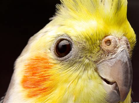 Cacatúa Ninfa  Nymphicus hollandicus    Aves exóticas ...