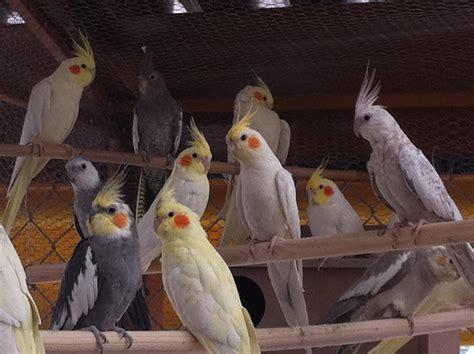 CACATÚA NINFA 】 Todo lo que debes saber sobre esta ave.