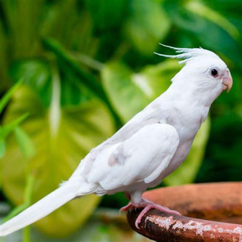 Cacatúa ninfa, variedades y características como mascota