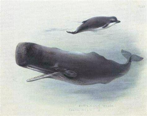 Cachalote – Wikipédia, a enciclopédia livre