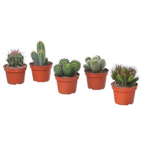 CACTACEAE Planta   mezcla de especies de plantas   IKEA