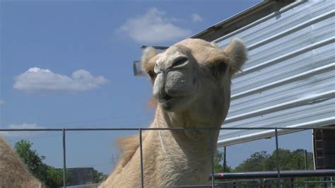 Camel s testicles bitten by woman at Louisiana truck stop ...