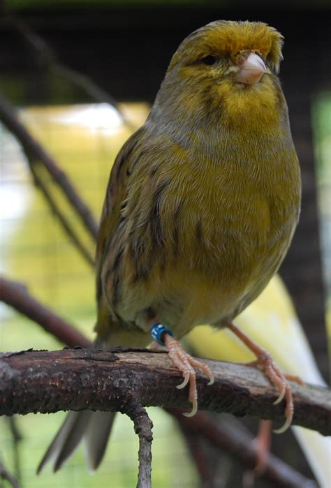 Can you hear a canary sing? – Tilgate Nature Centre