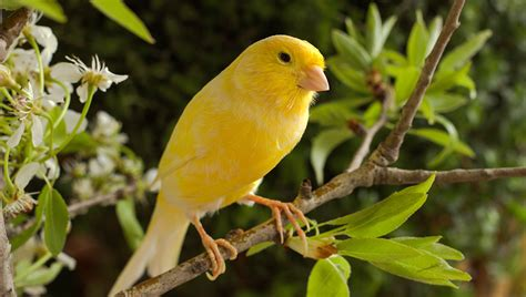 Canaries Are Quiet Companions