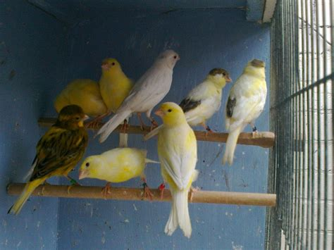 canaries for sale | Batley, West Yorkshire | Pets4Homes