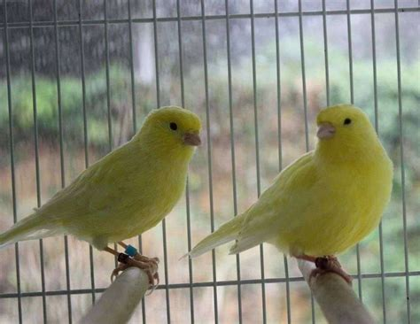 Canaries   Limited Supply     Prices starting at $99 ...