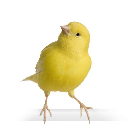 Canaries | Product categories | Goldenfeast Direct