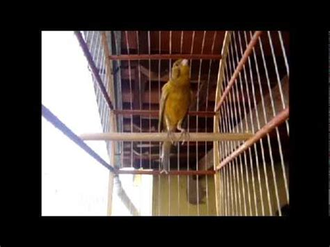 Canario Belga Canta Muito   Trovão Cantando   YouTube