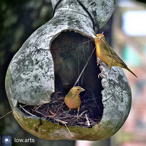canario belga   @criando.canarios  • Fotos y vídeos de ...