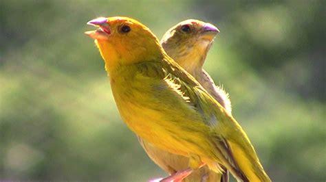 Canário da Terra Cantando Junto com sua Fêmea ...