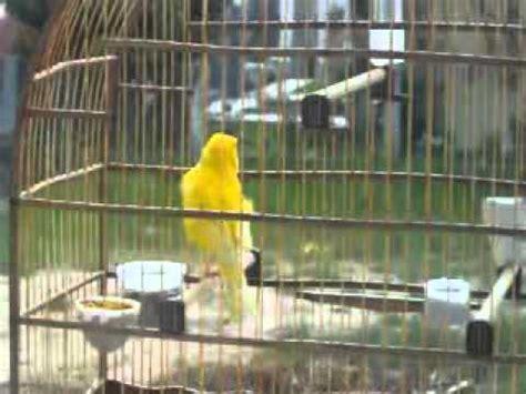 canario do reino cantando   YouTube