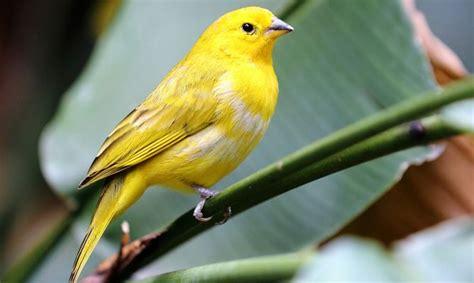 Canario   Especie de ave   Hogarmania