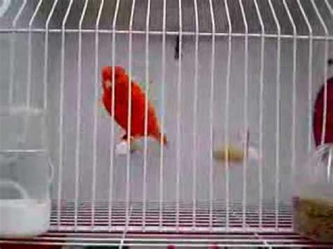 Canario Rojo Intenso   YouTube