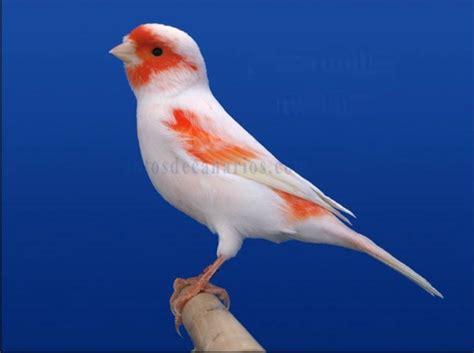 Canario   Rojo mosaico   Canarios, Canario ave, Fotos de ...
