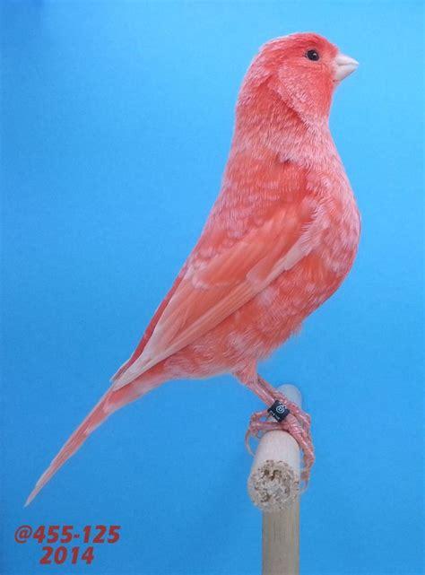 Canario rojo nevado   El pájaro canario domestico en 2020 ...