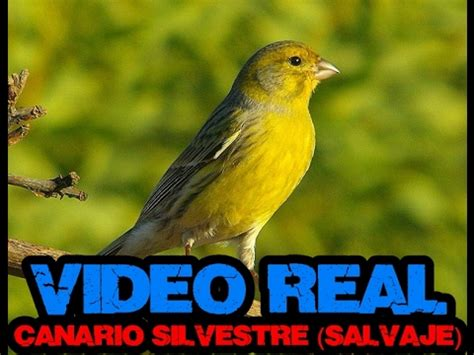 CANARIO SALVAJE || VÍDEO REAL + CANTO SILVESTRE.   YouTube