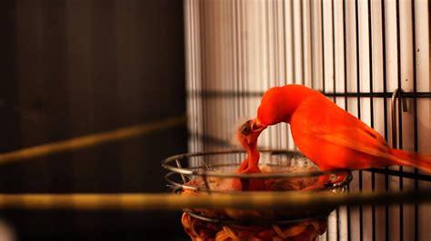 Canarios alimentando a sus crias 2014  HD    YouTube