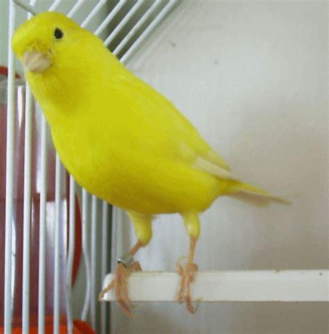 Canarios Amarillos   UCGS   Canary birds, Pet birds ...