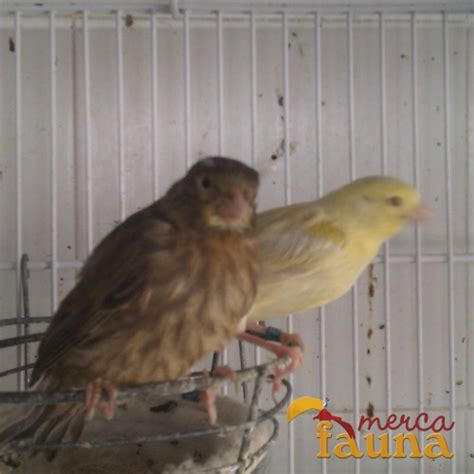 Canarios amarillos, verdes, brunos y satine   Mercafauna ...