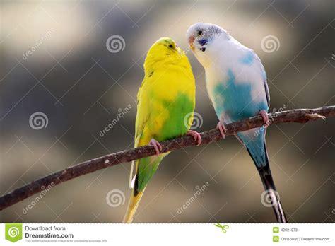 Canarios Del Pájaro Del Amor Imagen de archivo   Imagen de ...