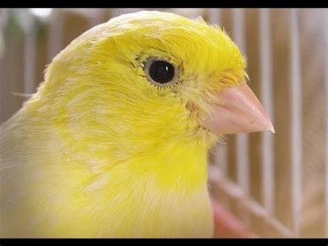 Canarios documental   información de los canarios   YouTube