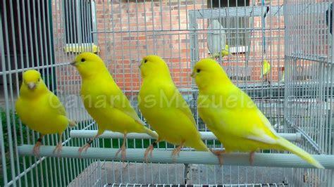 Canarios lipocromo amarillos intensos 2013   YouTube