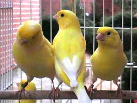 Canarios lipocromo amarillos intensos, nevados y marfil ...